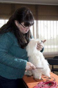 Helga cepillando a Hugo Bichon Maltes de pelo largo 267x400