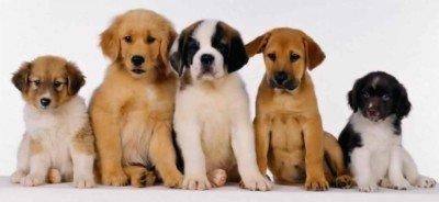 cachorros-de-perritos1