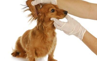 Consejos de Higiene Básica en Perros. #03 Limpieza oído en perros