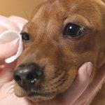 video consejos higiene basica en perros #1 limpieza de ojos perro marron