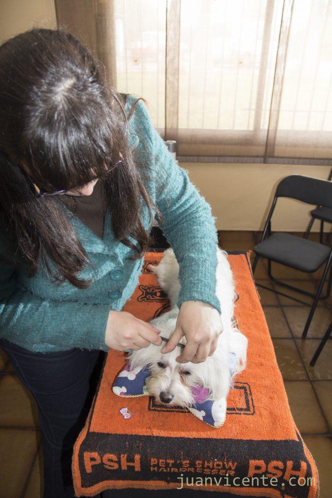 Manipulación de un Bichón Maltés y entrenamiento del perro