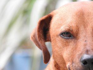 perro de orejas caidas limpieza de oidos en perros