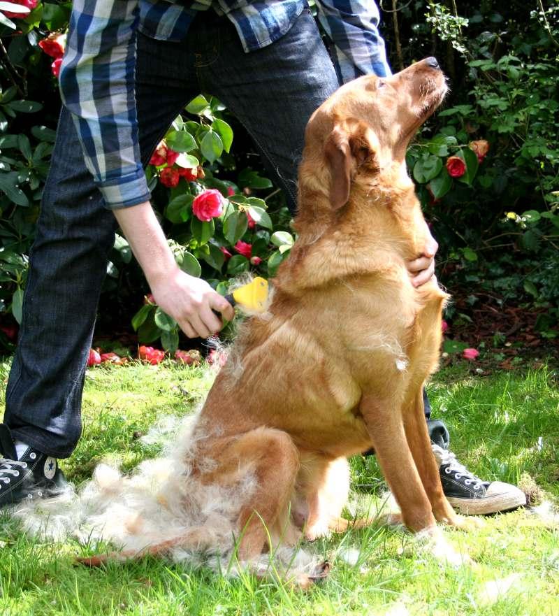 video consejo 05 cepillado del pelo corto en los perros con fulminator 800x881