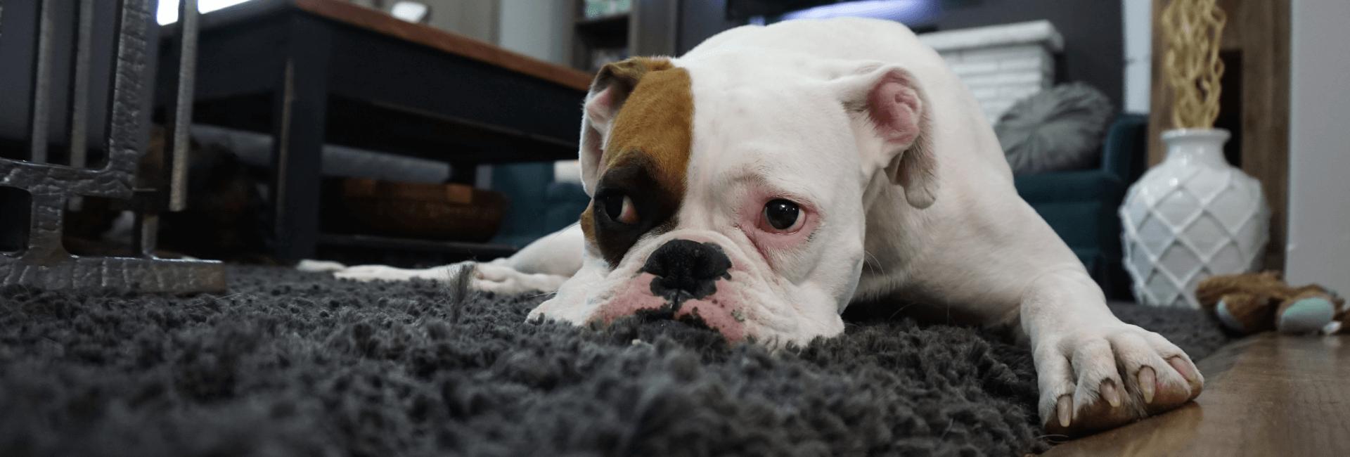Perro triste con sindrome postvacacional
