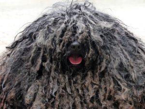 perro de aguas con rastas 1280x960 manto vedijas