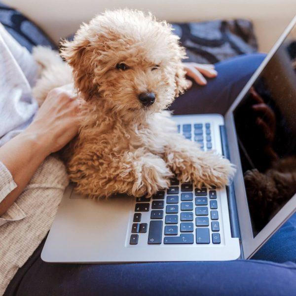 Perro caniche con un pc ordenador portatil