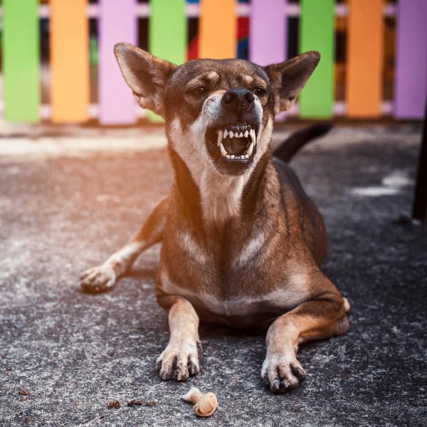 chihuahua agresivo cuadrado